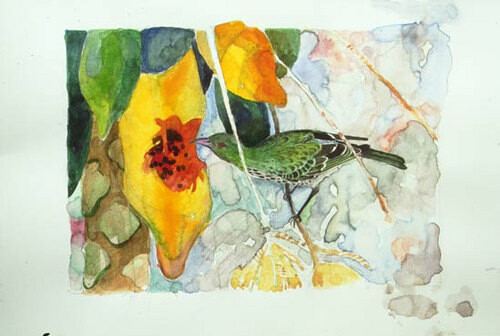 John Wolseley Olive-backed oriole with papaya, 1999; watercolour on paper; 26 x 33 cm; enquire