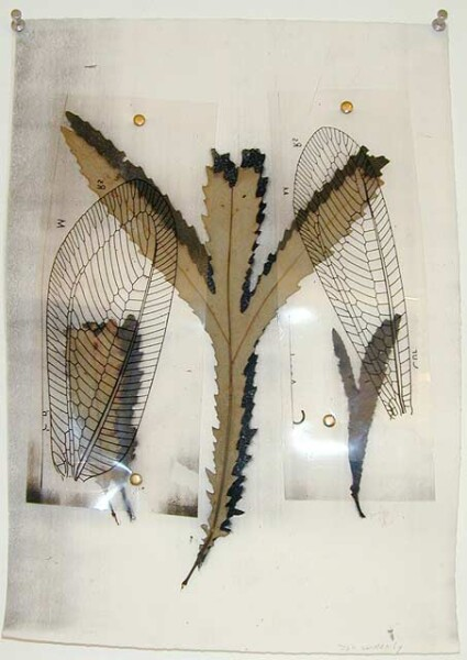 John Wolseley White beefwood with lacewings, 1998; speciman, photocopy, overlays; 38 x 29.5 cm; enquire