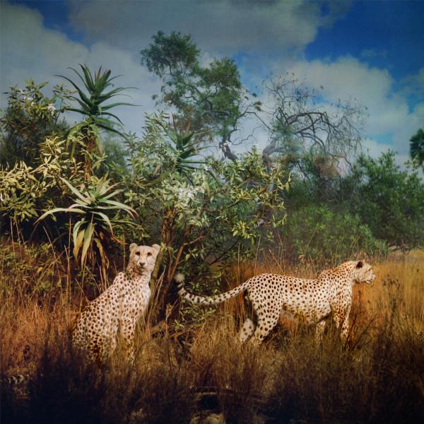 Anne Zahalka Big Cats, 2006; Ilfaflex Type C print; 80 x 80 cm; Edition of 10 + AP 2; enquire